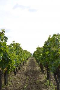 Vigne en appellation Blaye côtes de Bordeaux